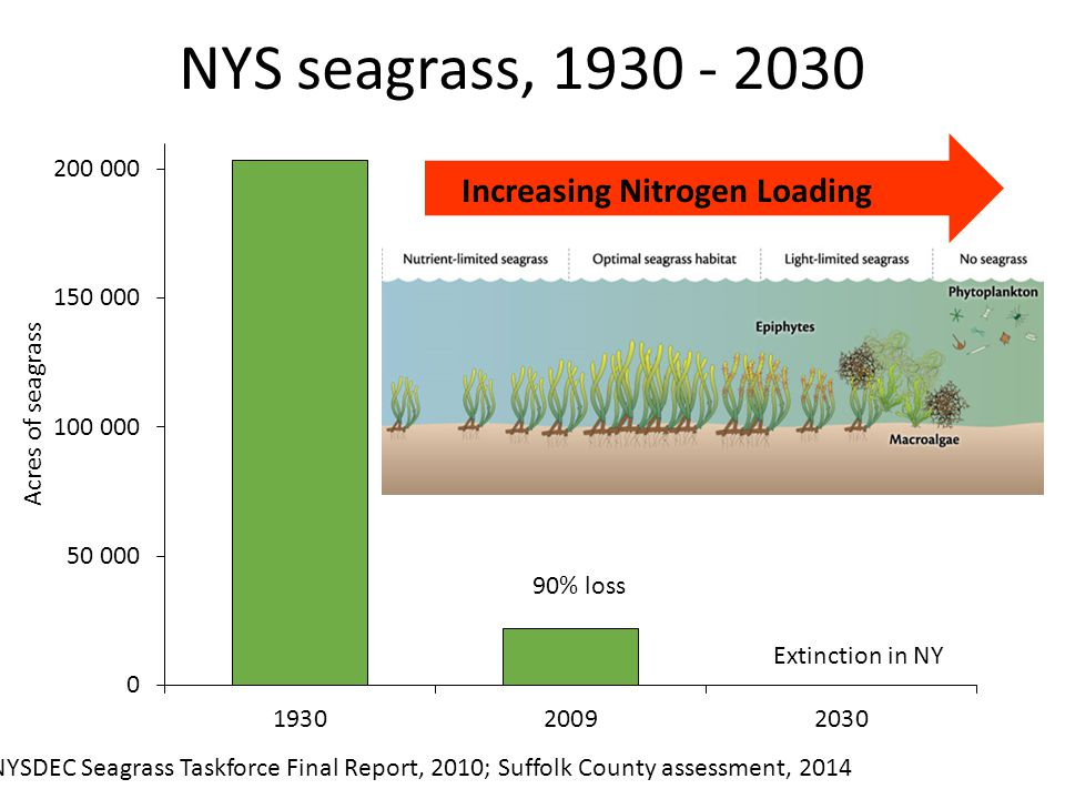 NYS seagrass, 1930 - 2030 NYSDEC Seagrass Taskforce Final Report, 2010; Suffolk County assessment, 2014 90% loss Extinction in NY Increasing Nitrogen Loading