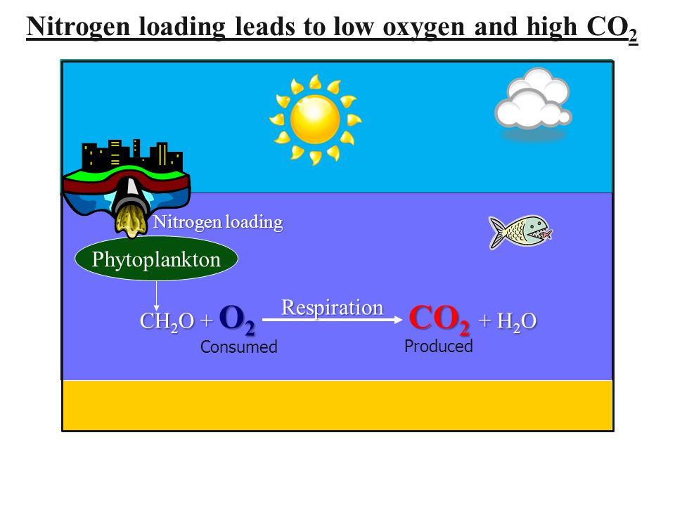 Phytoplankton CH 2 O + O 2 CO 2 + H 2 O Respiration Nitrogen loading leads to low oxygen and high CO 2 Nitrogen loading Consumed Produced