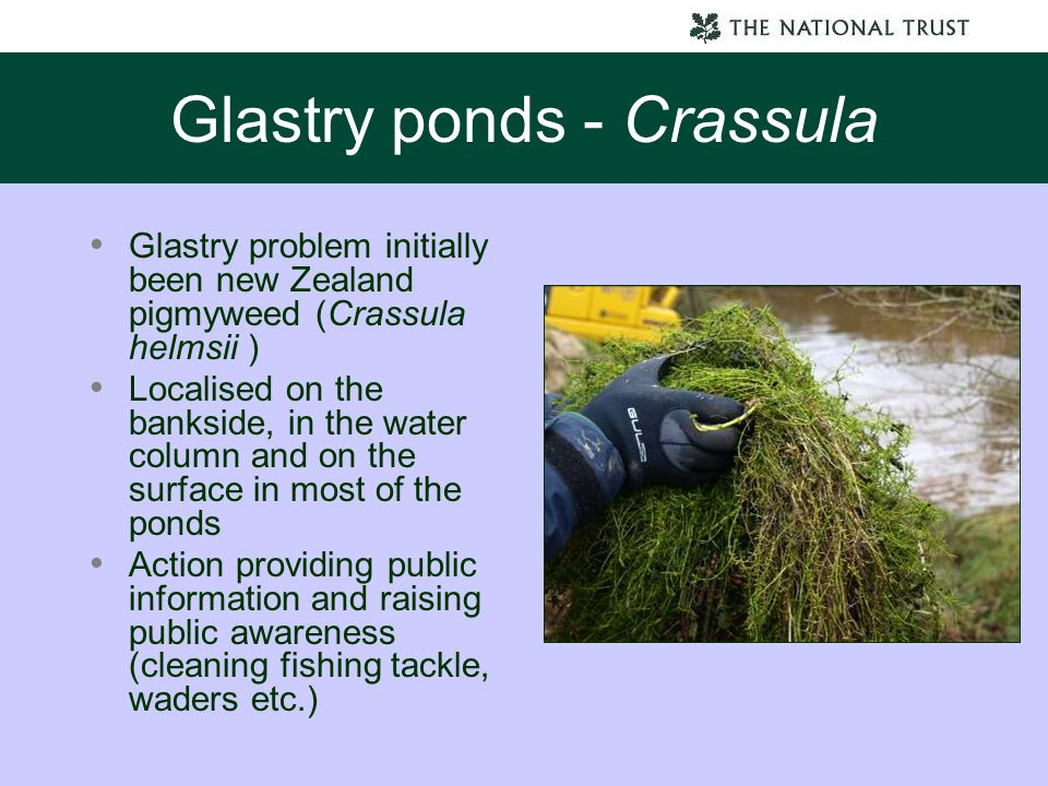 Glastry ponds - Crassula Glastry problem initially been new Zealand pigmyweed (Crassula helmsii ) Localised on the bankside, in the water column and o
