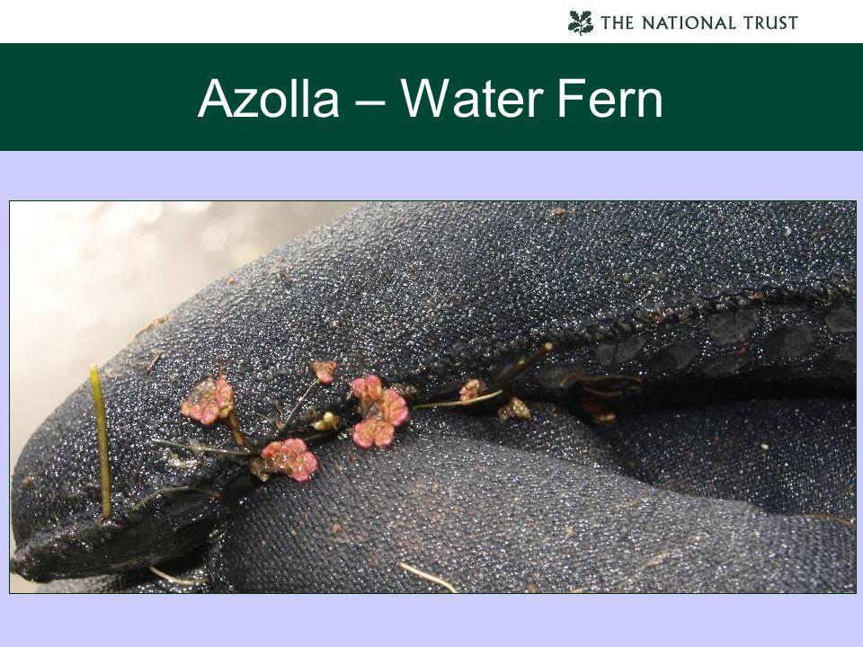 Azolla – Water Fern