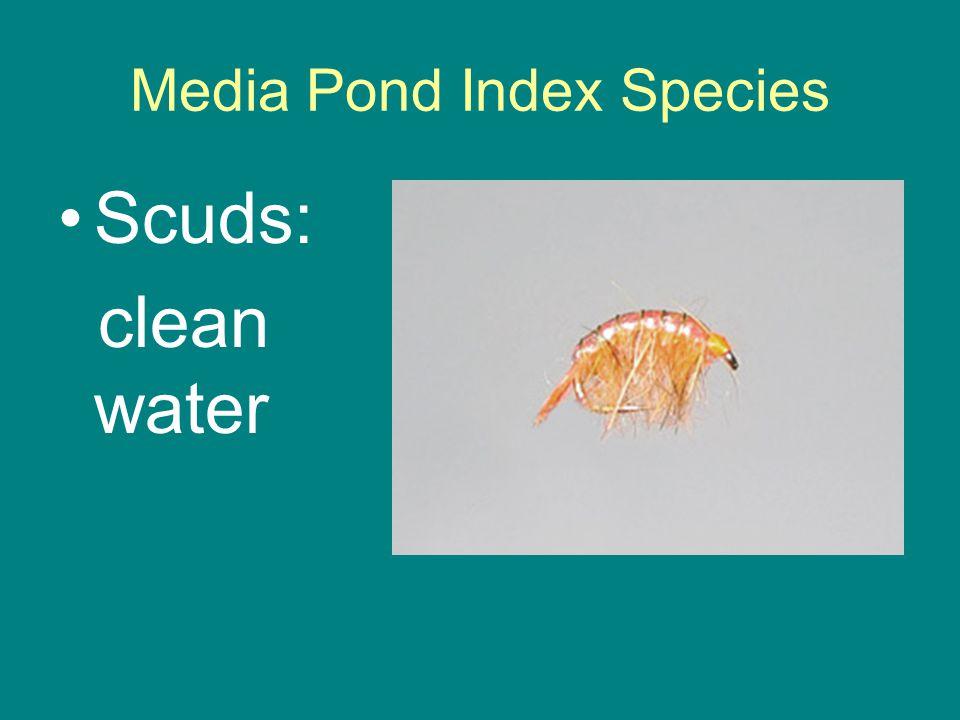 Media Pond Index Species Scuds: clean water
