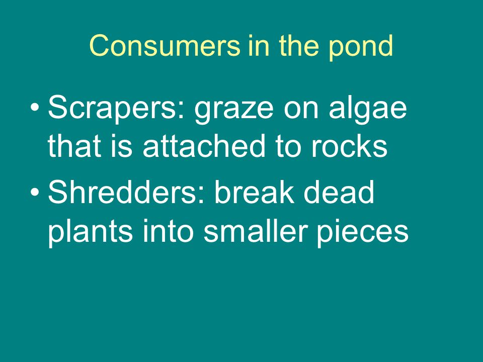 Consumers in the pond Scrapers: graze on algae that is attached to rocks Shredders: break dead plants into smaller pieces