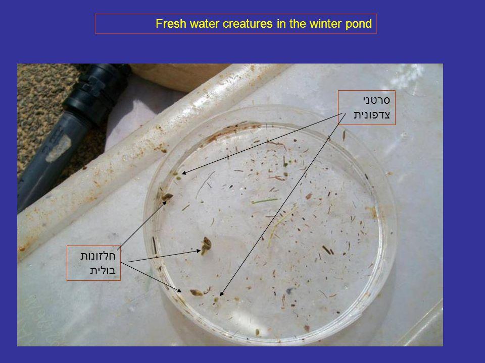 Fresh water creatures in the winter pond סרטני צדפונית חלזונות בולית