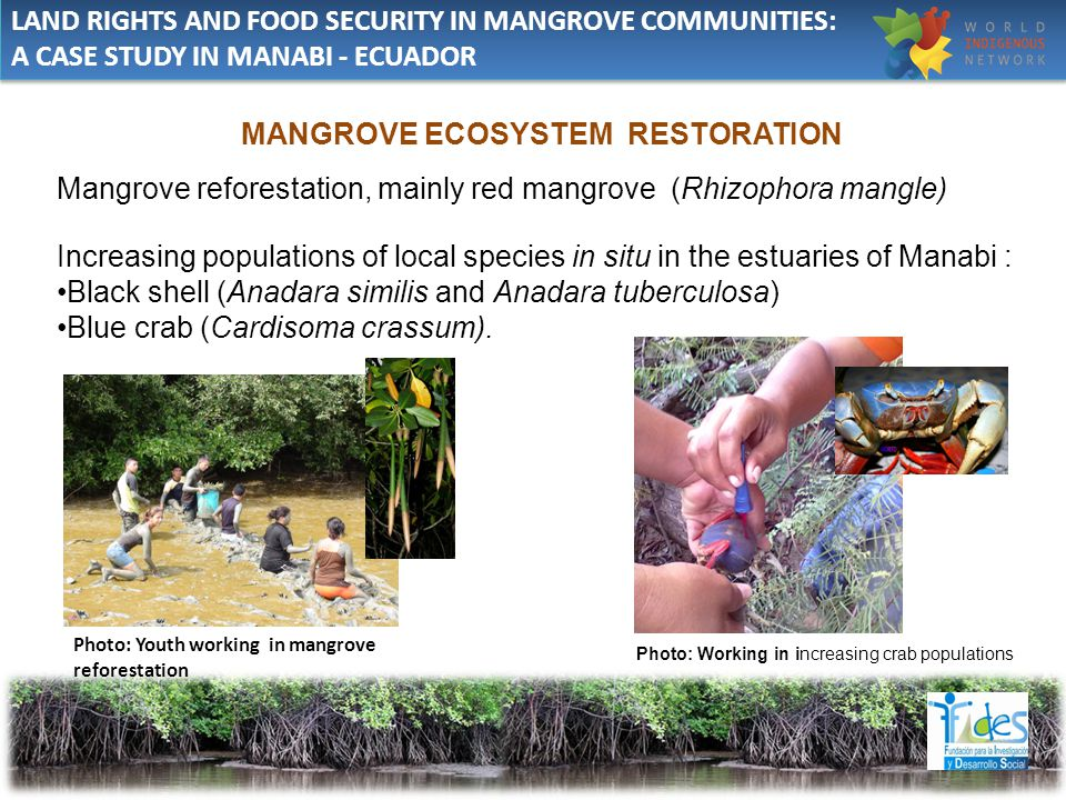 MANGROVE ECOSYSTEM RESTORATION Mangrove reforestation, mainly red mangrove (Rhizophora mangle) Increasing populations of local species in situ in the