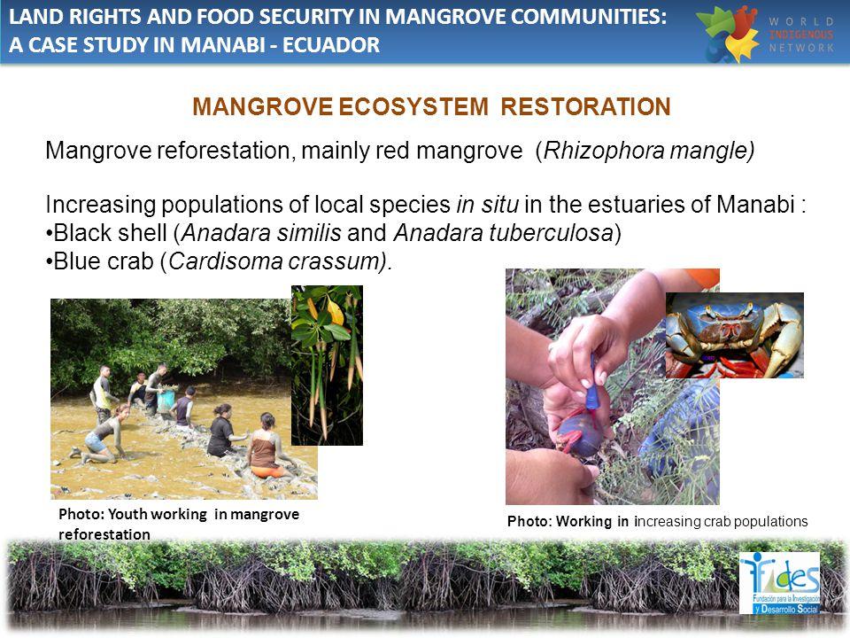 MANGROVE ECOSYSTEM RESTORATION Mangrove reforestation, mainly red mangrove (Rhizophora mangle) Increasing populations of local species in situ in the estuaries of Manabi : Black shell (Anadara similis and Anadara tuberculosa) Blue crab (Cardisoma crassum).