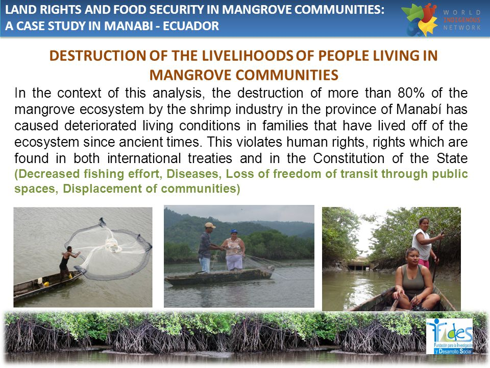 DESTRUCTION OF THE LIVELIHOODS OF PEOPLE LIVING IN MANGROVE COMMUNITIES In the context of this analysis, the destruction of more than 80% of the mangrove ecosystem by the shrimp industry in the province of Manabí has caused deteriorated living conditions in families that have lived off of the ecosystem since ancient times.