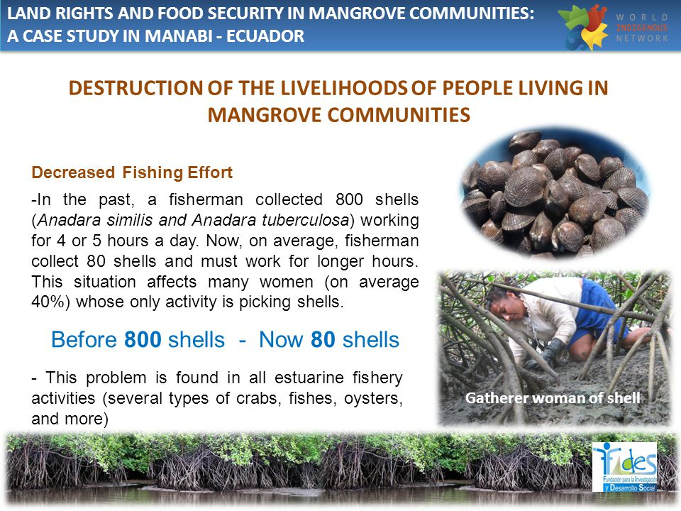 Decreased Fishing Effort -In the past, a fisherman collected 800 shells (Anadara similis and Anadara tuberculosa) working for 4 or 5 hours a day.