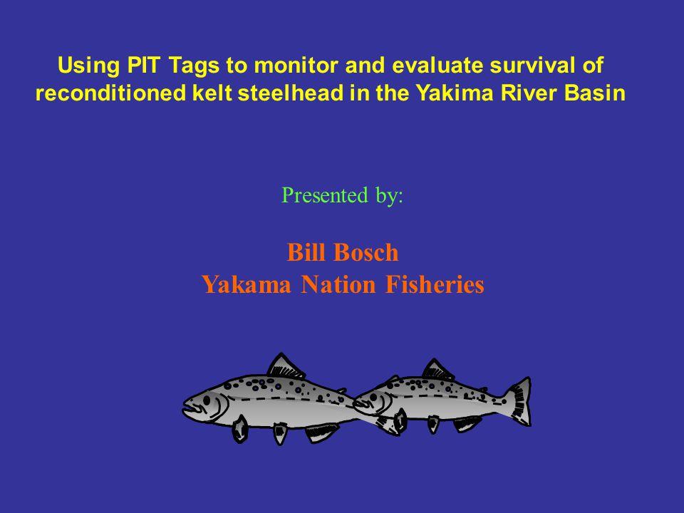 Fresh Steelhead kelts feeding in Prosser Hatchery holding pond, April 12, 2002.