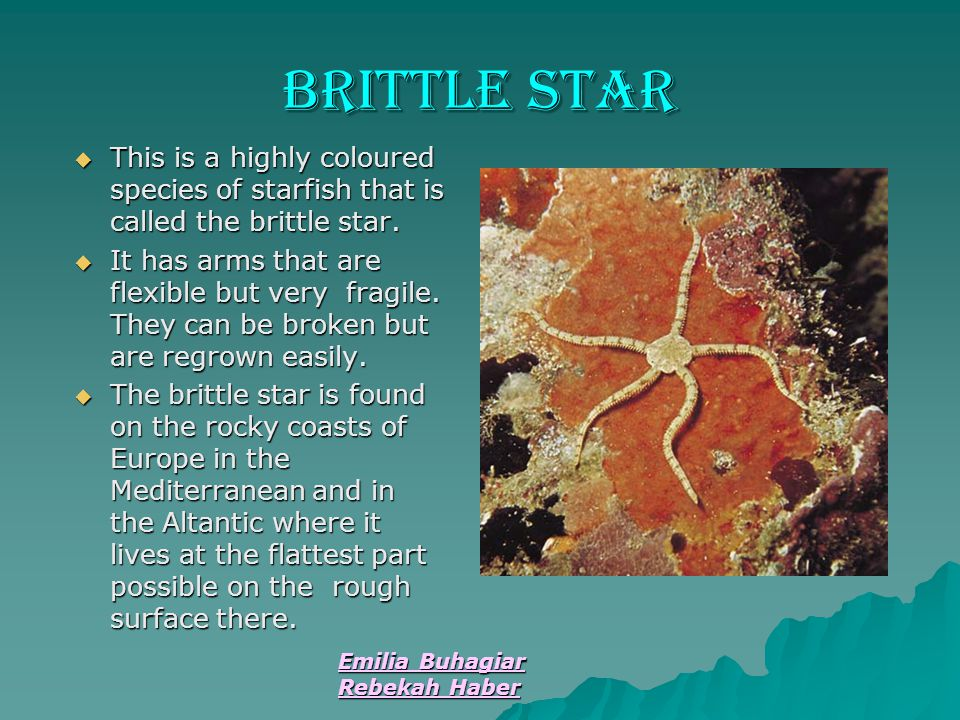 Emilia Buhagiar Rebekah Haber Brittle Star  This is a highly coloured species of starfish that is called the brittle star.  It has arms that are fle