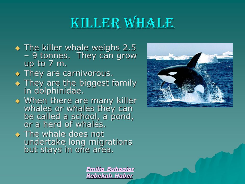 Emilia Buhagiar Rebekah Haber Killer Whale  The killer whale weighs 2.5 – 9 tonnes. They can grow up to 7 m.  They are carnivorous.  They are the b