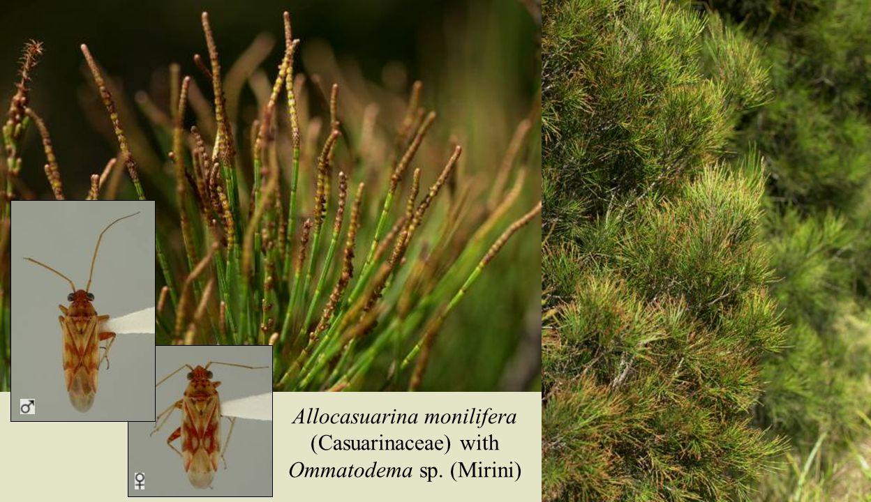 Casuarina bugs Allocasuarina monilifera (Casuarinaceae) with Ommatodema sp. (Mirini)