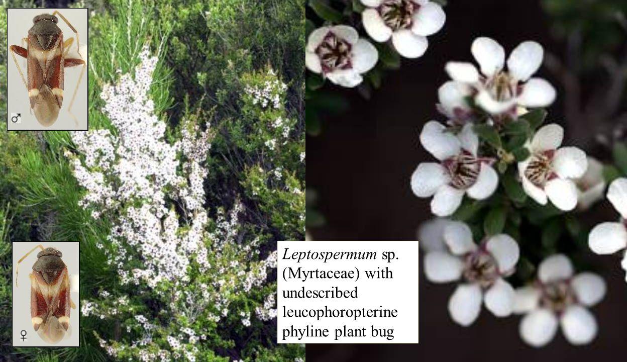 Leptospermum bugs Leptospermum sp. (Myrtaceae) with undescribed leucophoropterine phyline plant bug