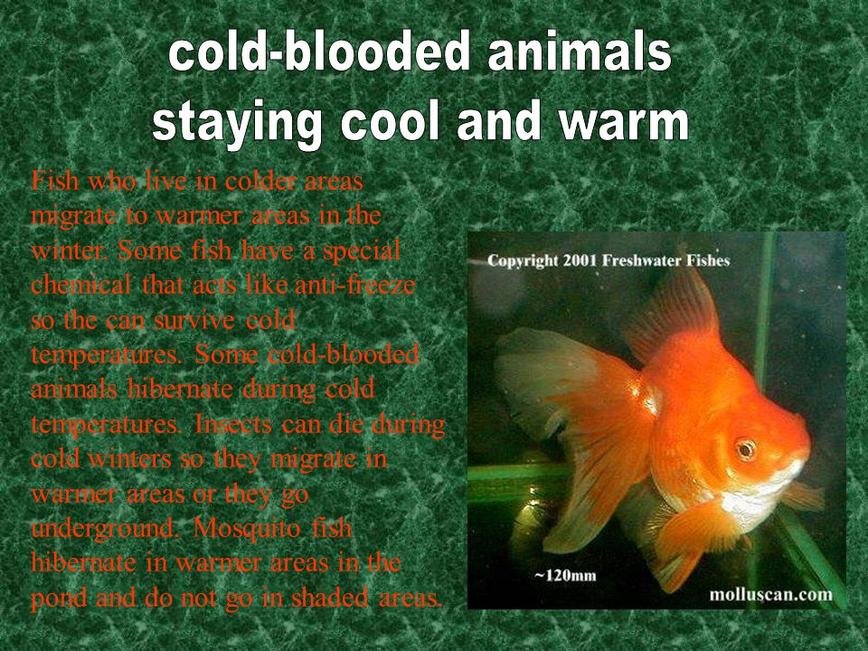 Fish who live in colder areas migrate to warmer areas in the winter.