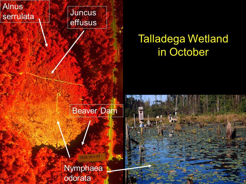 Juncus effusus Nymphaea odorata Beaver Dam Talladega Wetland in October Alnus serrulata