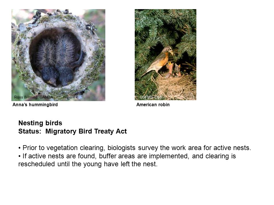 Nesting birds Status: Migratory Bird Treaty Act Prior to vegetation clearing, biologists survey the work area for active nests.
