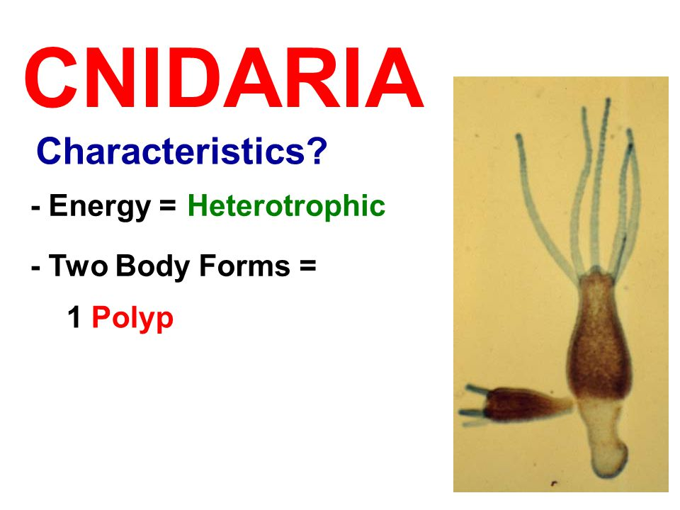 CNIDARIA - Two Body Forms = 1 Polyp - Energy =Heterotrophic Characteristics