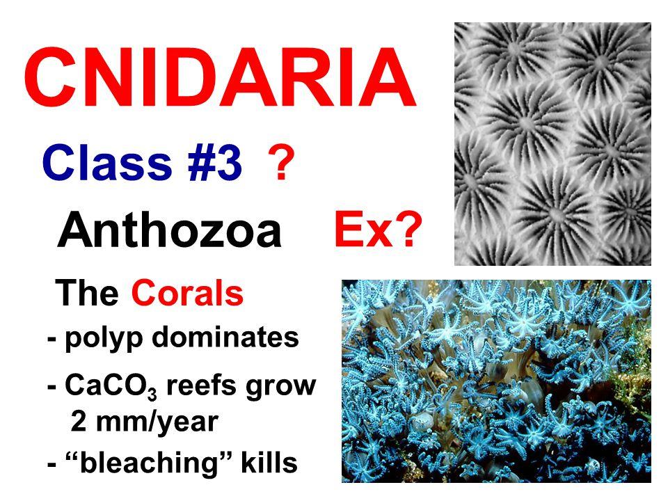 "Class #3 CNIDARIA Anthozoa The Corals - polyp dominates - CaCO 3 reefs grow 2 mm/year - ""bleaching"" kills ? Ex?"