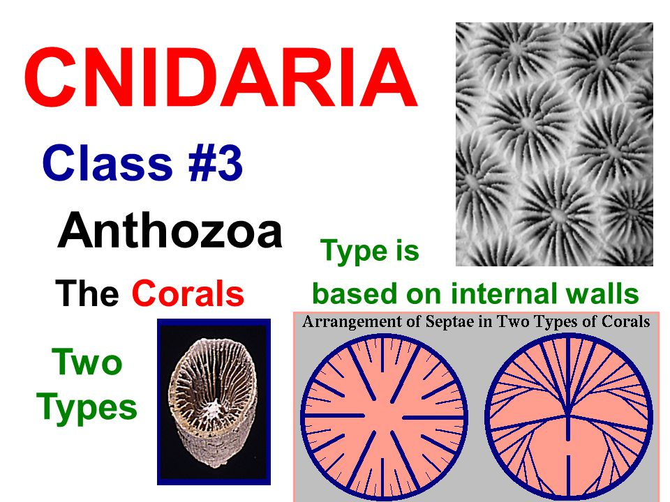 Class #3 CNIDARIA Anthozoa The Corals Two Types Type is based on internal walls