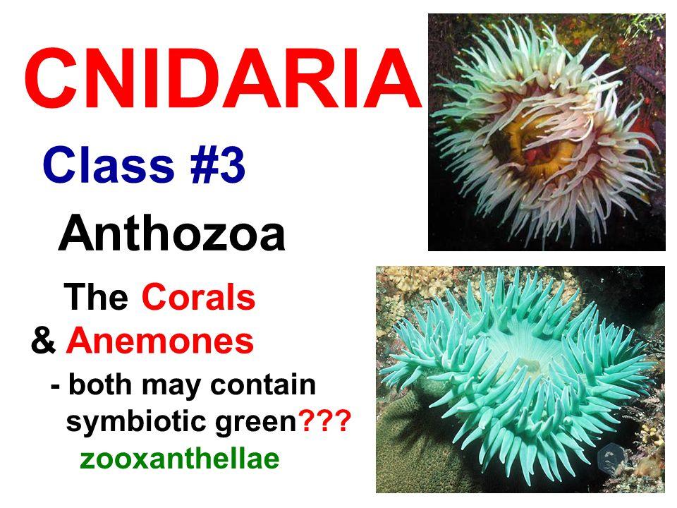Class #3 CNIDARIA Anthozoa The Corals - both may contain symbiotic green .