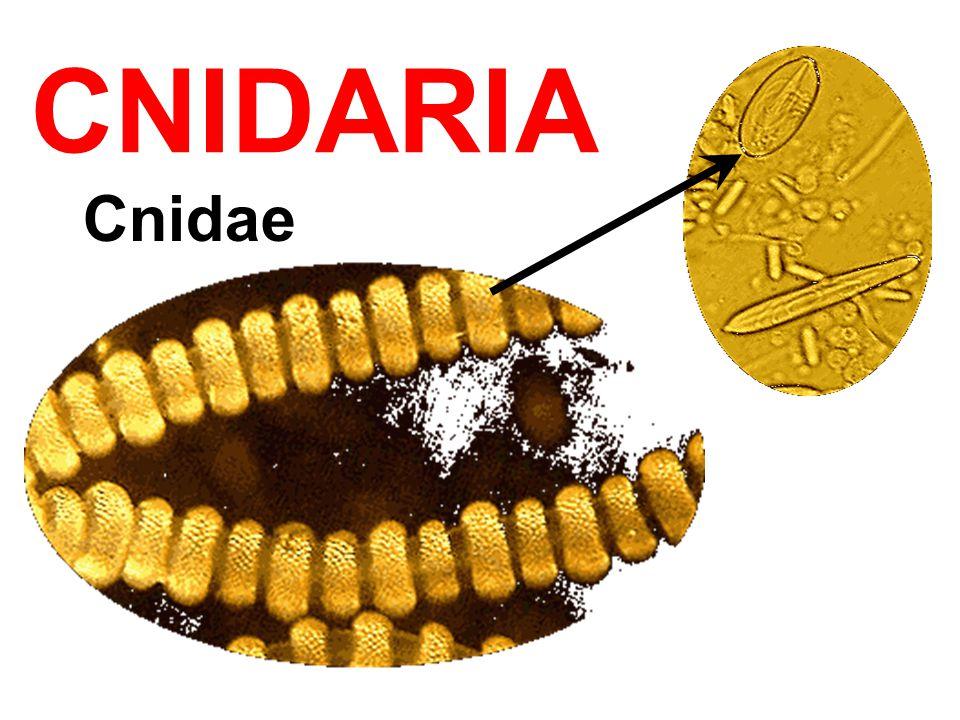 CNIDARIA Cnidae