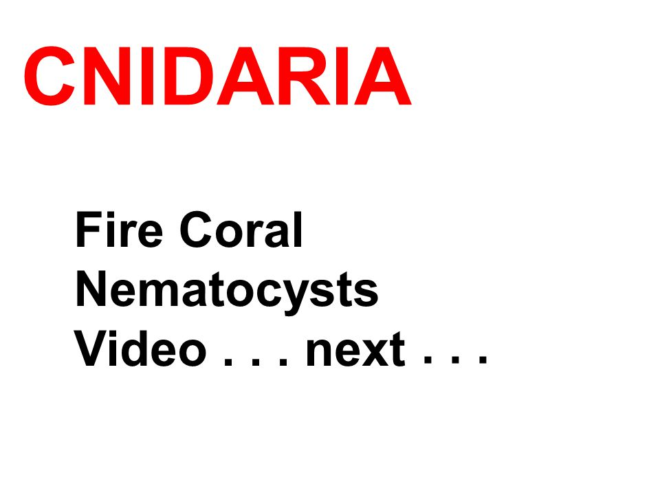 Fire Coral Nematocysts Video... next...