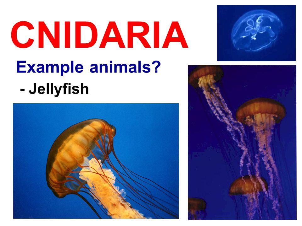 CNIDARIA Example animals? - Jellyfish