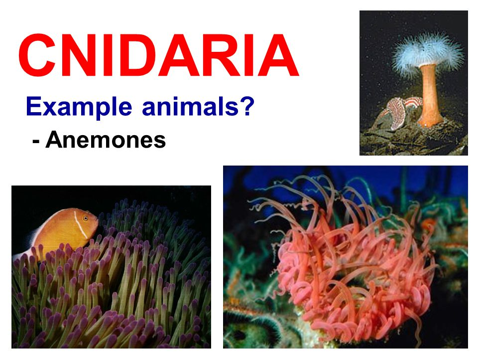 CNIDARIA Example animals? - Anemones