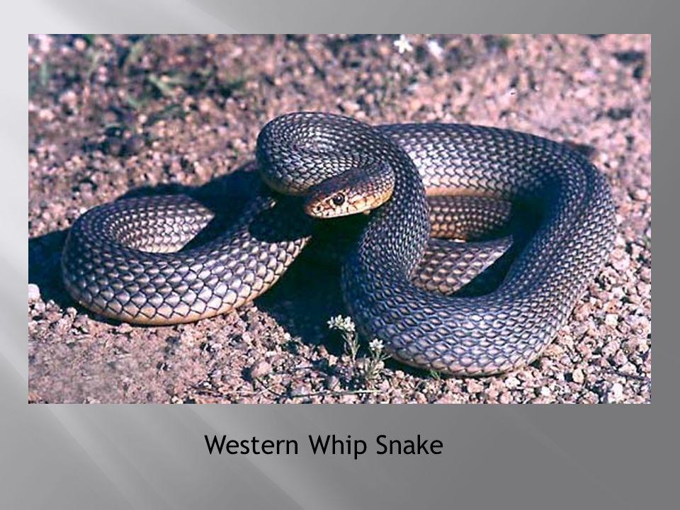 Western Whip Snake