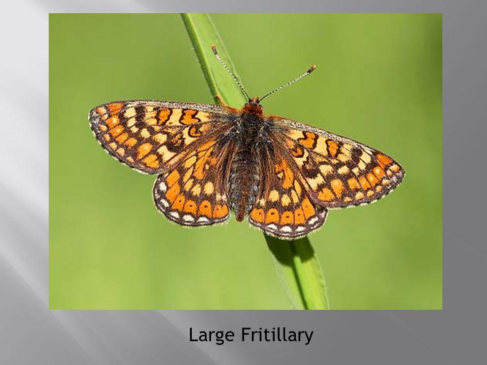 Large Fritillary