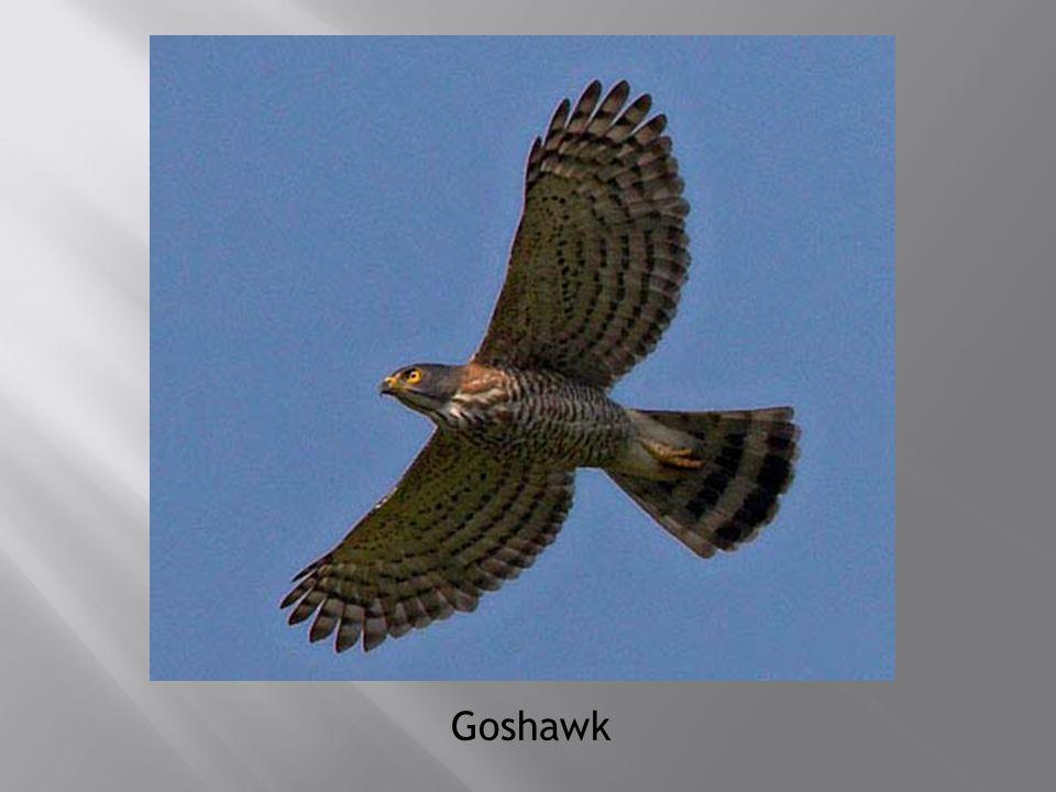 Goshawk
