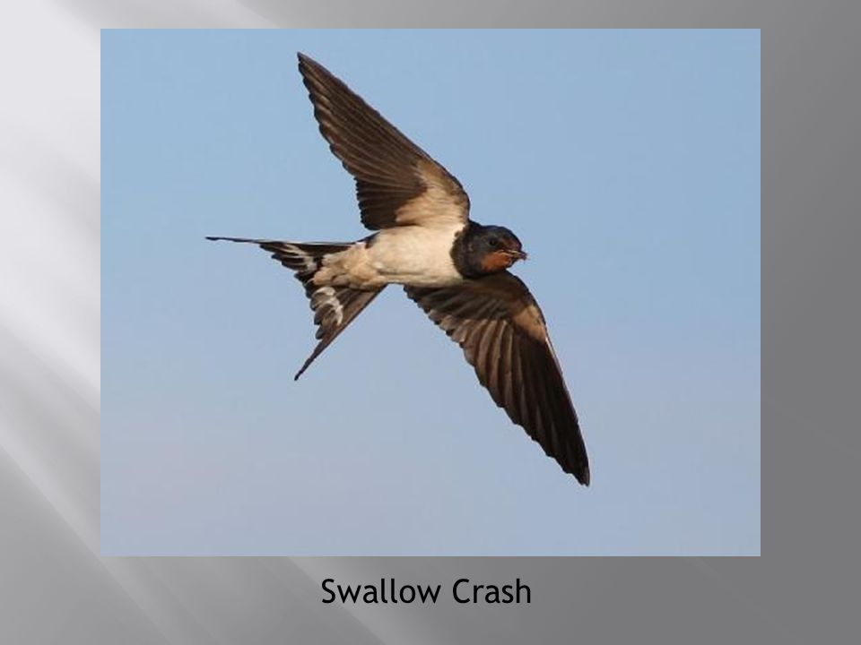Swallow Crash