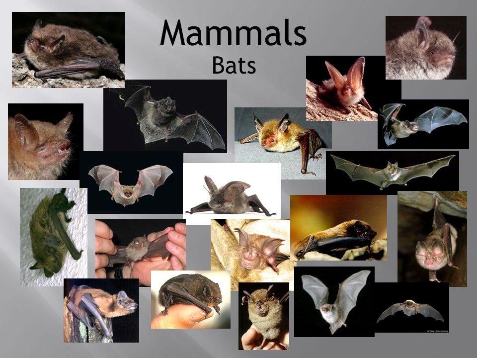 Mammals Bats