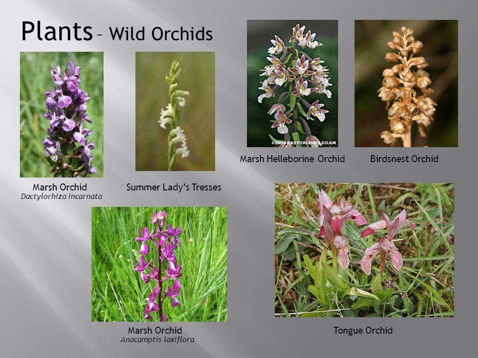 Plants – Wild Orchids Marsh Orchid Summer Lady's Tresses Marsh Helleborine Orchid Birdsnest Orchid Marsh OrchidTongue Orchid Dactylorhiza incarnata Anacamptis laxiflora