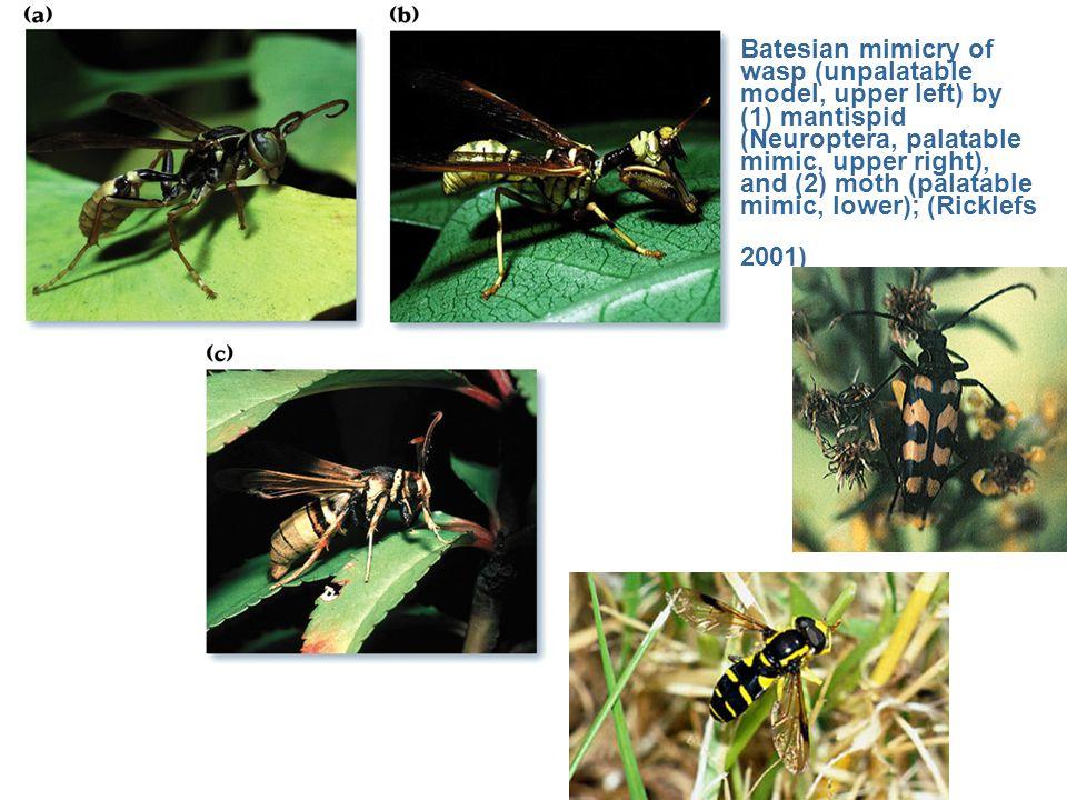 Batesian mimicry of wasp (unpalatable model, upper left) by (1) mantispid (Neuroptera, palatable mimic, upper right), and (2) moth (palatable mimic, l