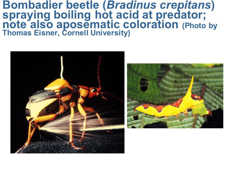 Bombadier beetle (Bradinus crepitans) spraying boiling hot acid at predator; note also aposematic coloration (Photo by Thomas Eisner, Cornell Universi