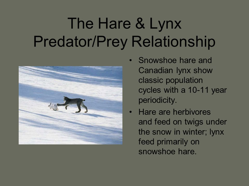 The Hare & Lynx Predator/Prey Relationship Snowshoe hare and Canadian lynx show classic population cycles with a 10-11 year periodicity.