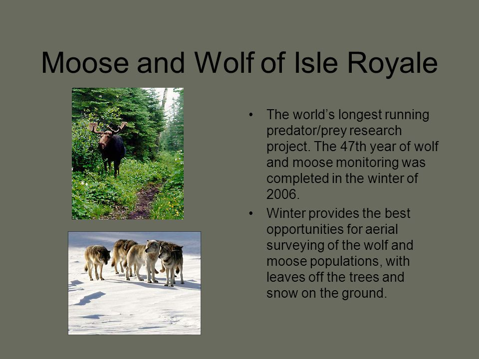 Moose and Wolf of Isle Royale The world's longest running predator/prey research project.