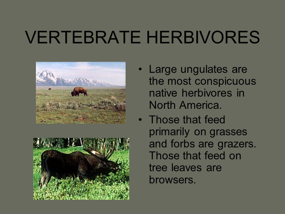 VERTEBRATE HERBIVORES Large ungulates are the most conspicuous native herbivores in North America. Those that feed primarily on grasses and forbs are