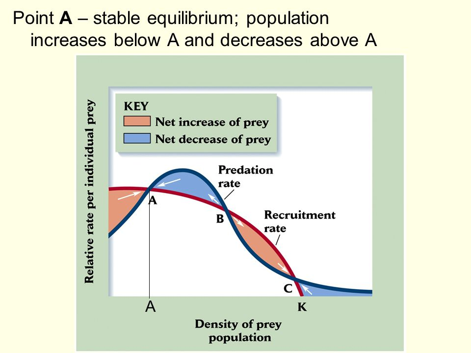 Point A – stable equilibrium; population increases below A and decreases above A A