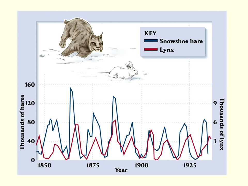 A verbal model of predator-prey cycles: 1.Predators eat prey and reduce their numbers 2.Predators go hungry and decline in number 3.With fewer predators, prey survive better and increase 4.Increasing prey populations allow predators to increase And repeat…