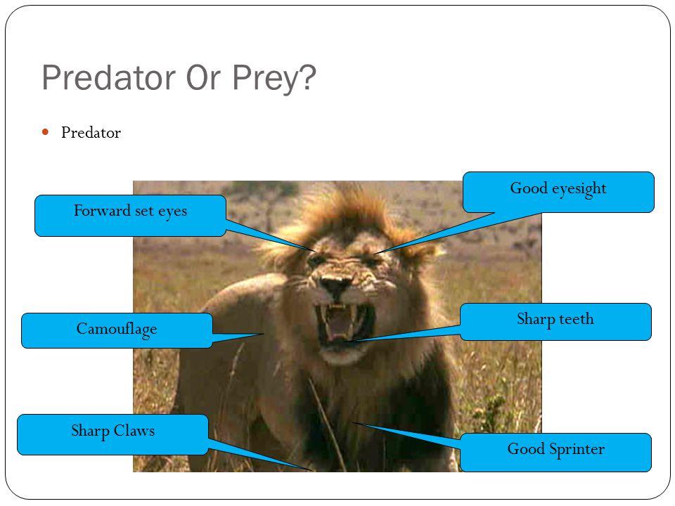 Predator Or Prey? Predator Good eyesight Camouflage Sharp teeth Forward set eyes Sharp Claws Good Sprinter