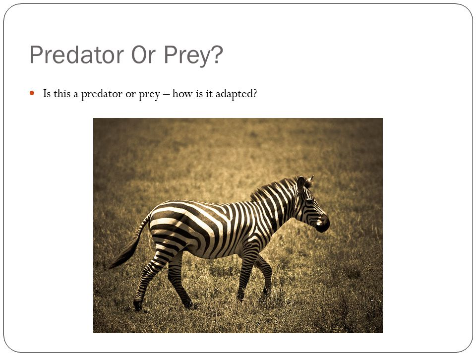 Predator Or Prey Is this a predator or prey – how is it adapted