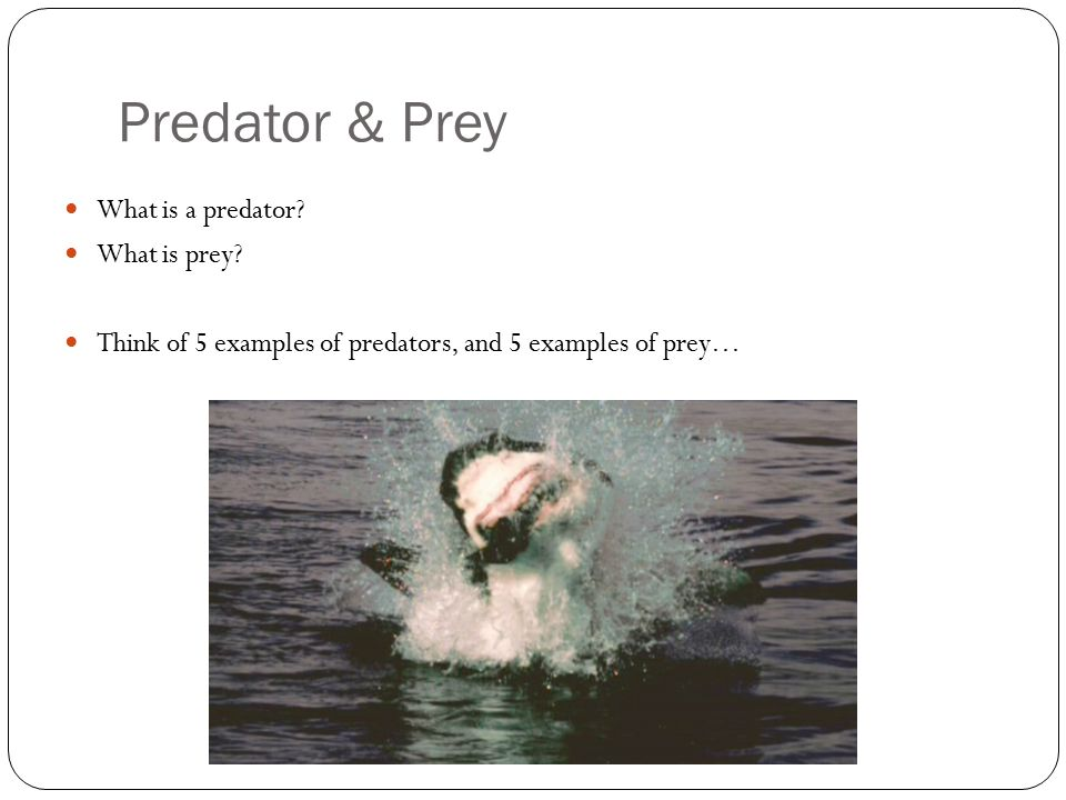 Predator & Prey What is a predator? What is prey? Think of 5 examples of predators, and 5 examples of prey…