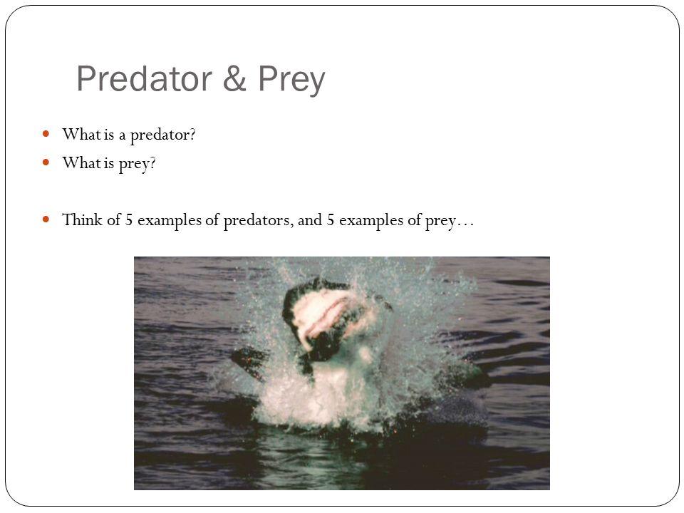 Predator & Prey What is a predator. What is prey.