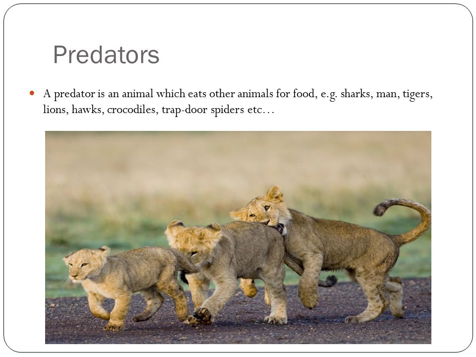 Predators A predator is an animal which eats other animals for food, e.g.