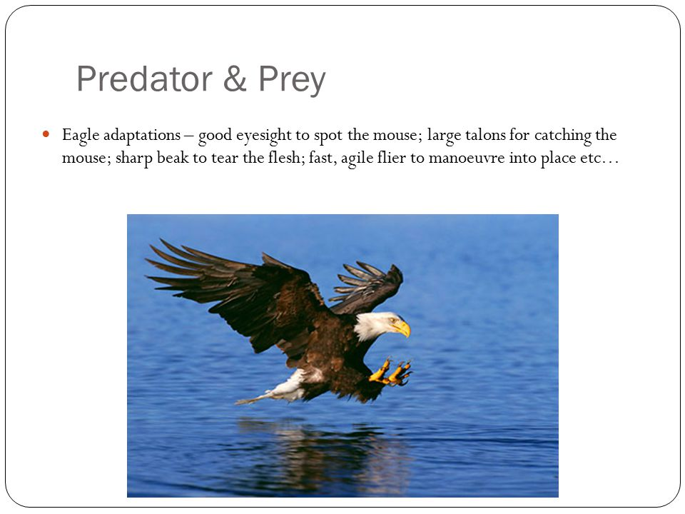Predator & Prey Eagle adaptations – good eyesight to spot the mouse; large talons for catching the mouse; sharp beak to tear the flesh; fast, agile flier to manoeuvre into place etc…