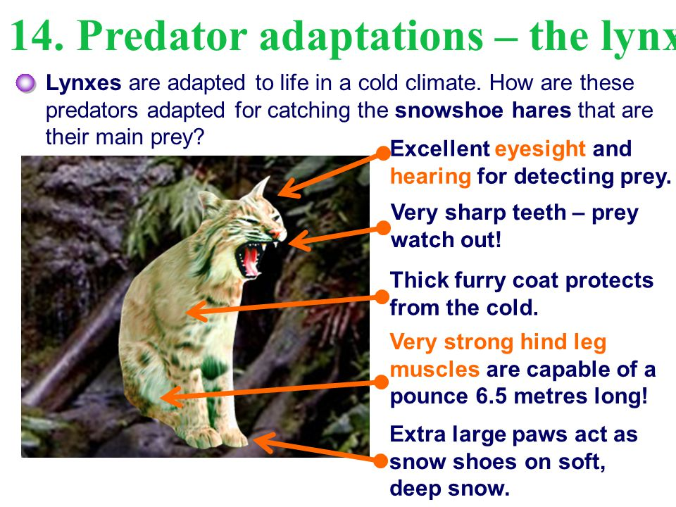 14. Predator adaptations – the lynx Lynxes are adapted to life in a cold climate. How are these predators adapted for catching the snowshoe hares that