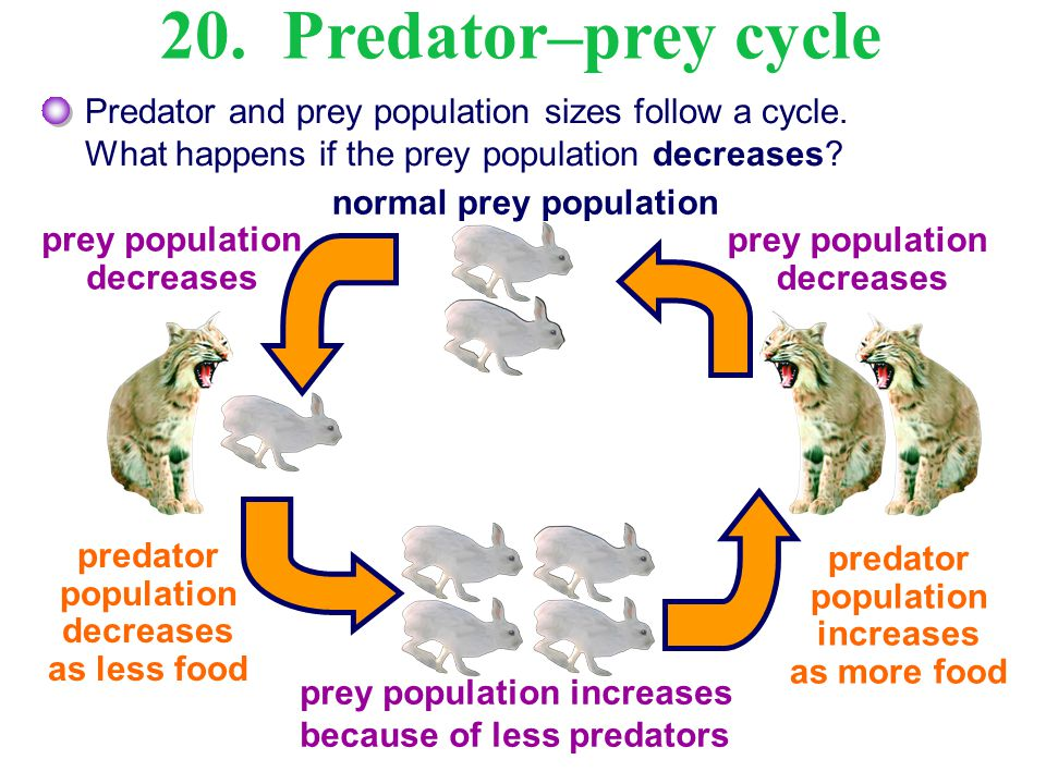 Predator and prey population sizes follow a cycle. What happens if the prey population decreases? normal prey population 20. Predator–prey cycle prey