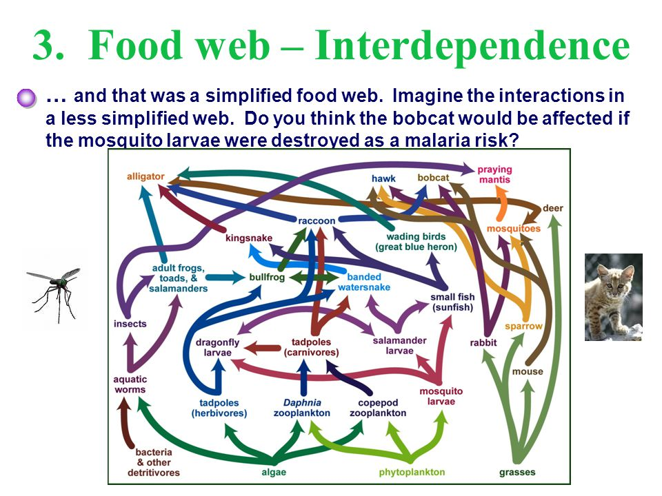 3. Food web – Interdependence … and that was a simplified food web. Imagine the interactions in a less simplified web. Do you think the bobcat would b