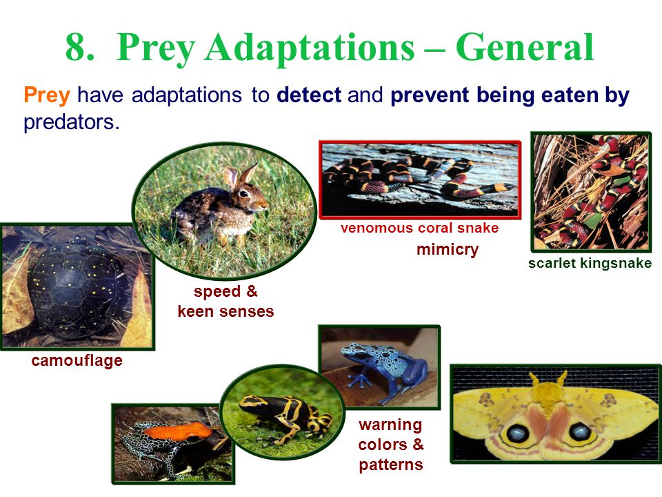 camouflage mimicry venomous coral snake scarlet kingsnake speed & keen senses warning colors & patterns 8. Prey Adaptations – General Prey have adapta